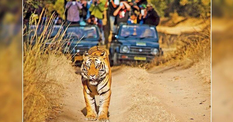 पन्ना टाइगर रिजर्व में बाघ का सिर किसने काटा था, जल्दी सच आएगा सामने