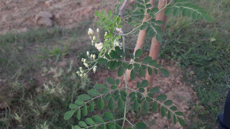 Drumstick tree (सहजन)   Moringa