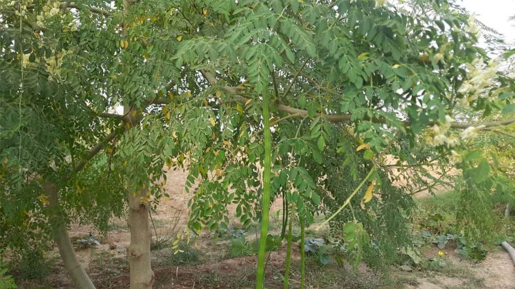 विदेशों में मोरिंगा की मांग बढ़ी, बुंदेली किसानों को सुनहरा अवसर, जानिये औषधि गुण और फायदे