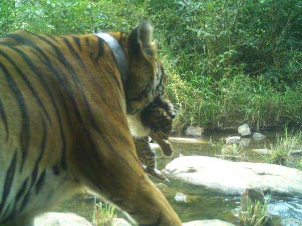 पन्ना टाइगर रिज़र्व में 4 नन्हें मेहमान आए, प्रबंधन ने बाघों को लेकर किया बड़ा दावा