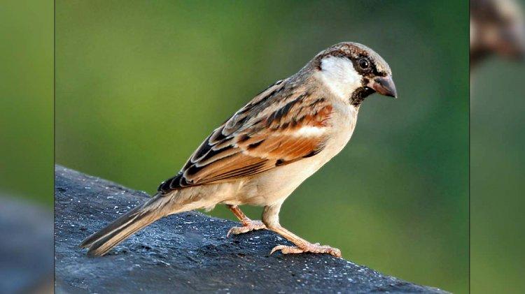 विश्व गौरैया दिवस : शहर के हर मकान में चिड़ियों का घोंसला टांगने का संकल्प