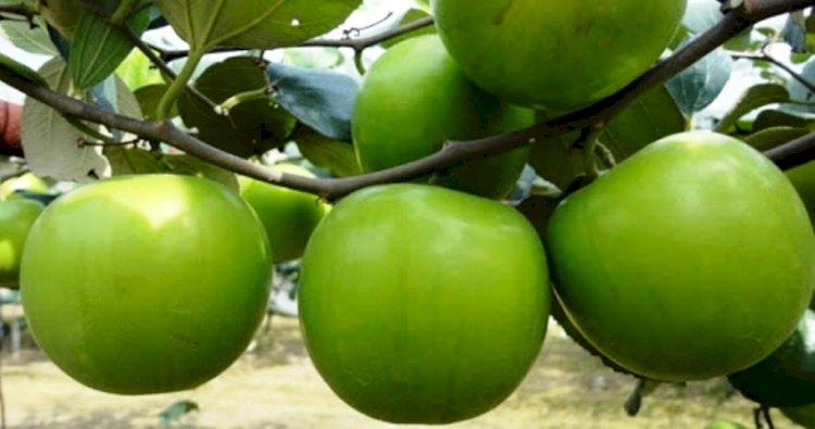 बुंदेलखंड में जल्दी शुरू होगी एप्पल बेर की खेती