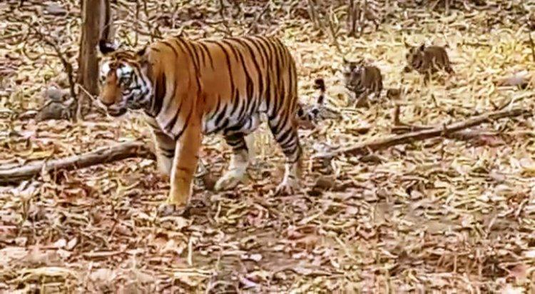 अद्भुत : अनाथ हो चुके चार शावकों की परवरिश कर रहा है नर बाघ