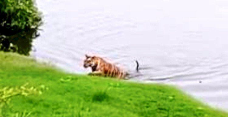 केन नदी में अठखेलियां करता नजर आया बाघ पी 141