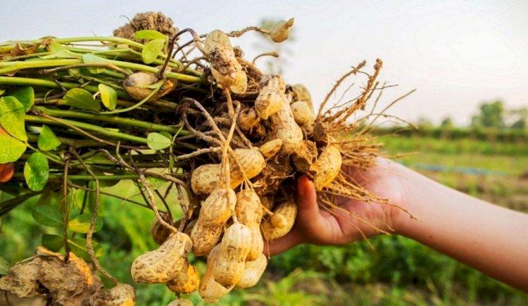अच्छी बारिश होने के बाद करें तिल तथा मूंगफली की बुवाई तो होगा लाभ