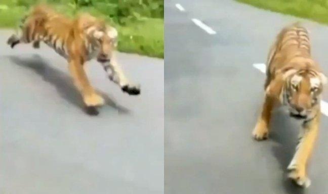 बाघ ने बाइक सवारों पर हमला