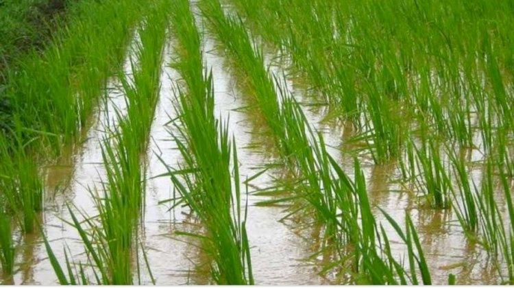 रोगों से बचाव कर किसान भाई धान की फसल से कमाएं बेहतर लाभ : डा. एसके विश्वास