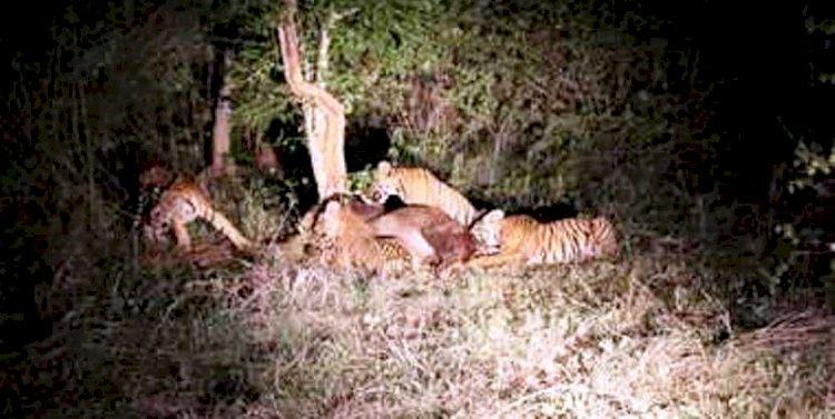 अनाथ हुए शावकों के बाघ पिता को मिली नई संगिनी, अब शावकों के साथ कैसा होगा बर्ताव