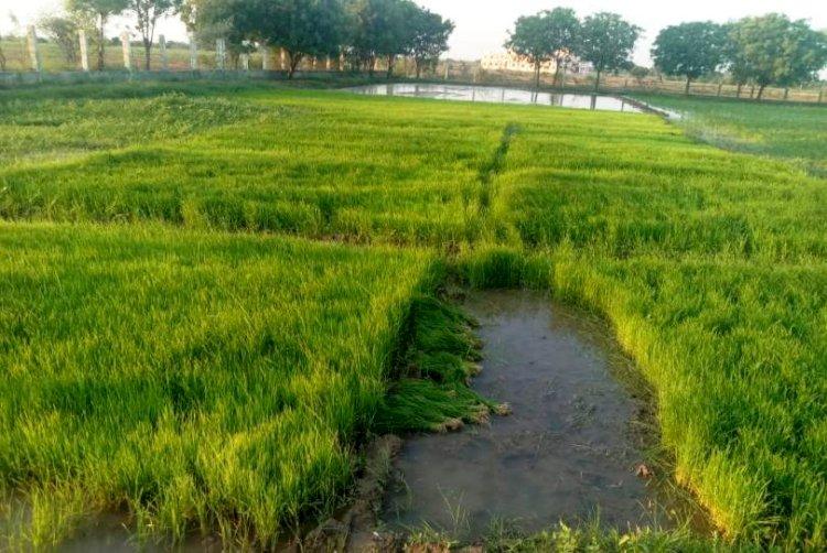 किसानों की धान की पौध तैयार हो तो अतिशीघ्र रोपाई कार्य पूर्ण कर लेंः कुलपति