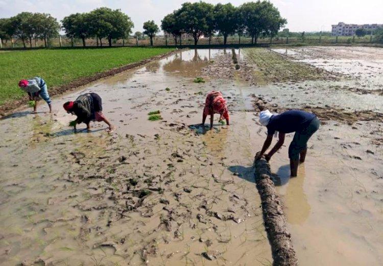 किसानों की धान की पौध तैयार, खेत में रोपाई का कार्य