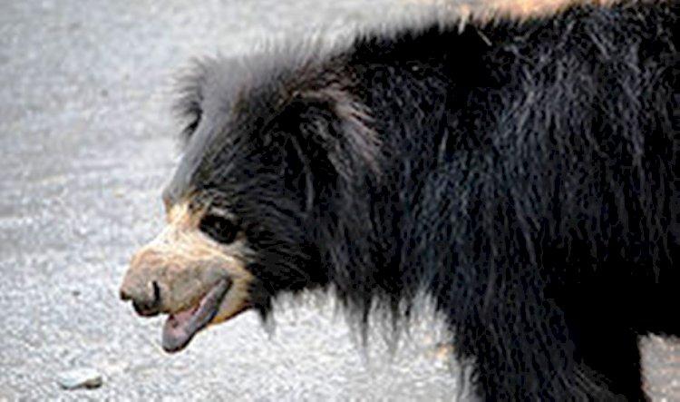 ललितपुर के मड़ावरा में रीछ भालू संरक्षण केंद्र बनाने की तैयारी